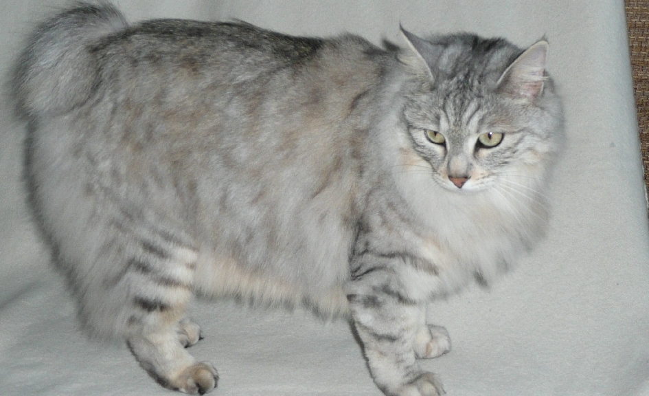 Kurilian bobtail: short fluffy tail and slightly pricked ears