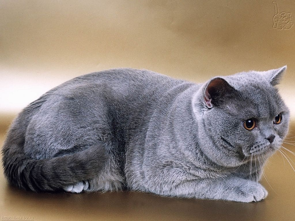 British shorthair cats calm and confident