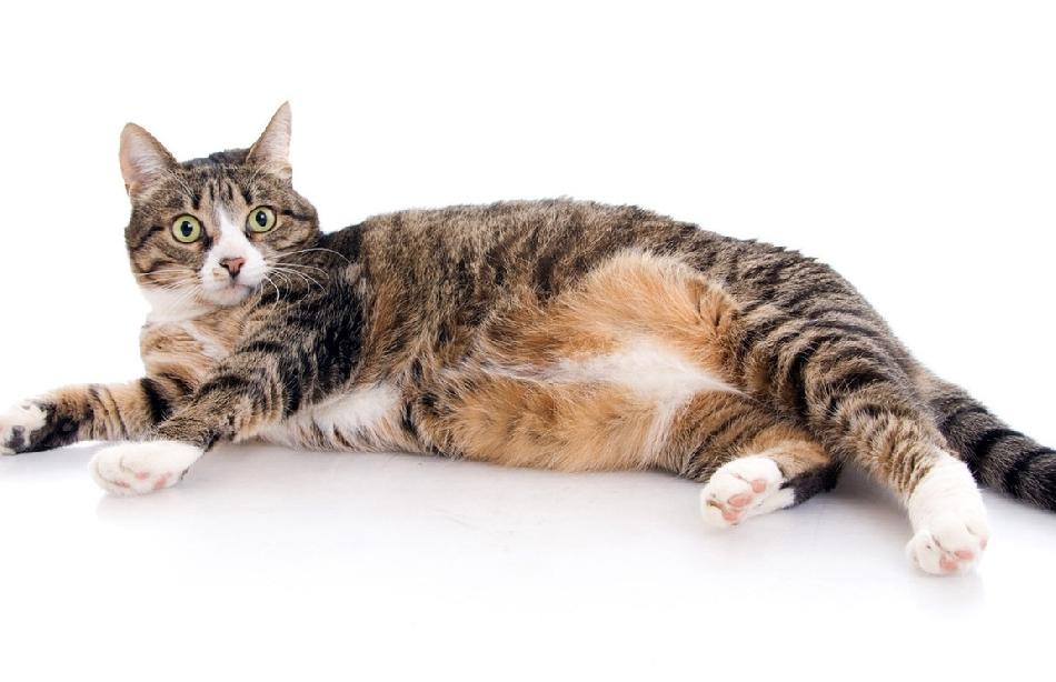 Pregnancy in cats