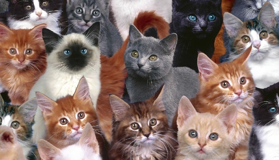 How to choose a cat breed?
