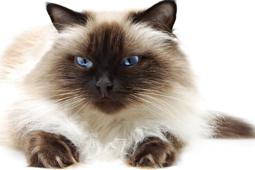 Himalayan cat – a fantasy carnival