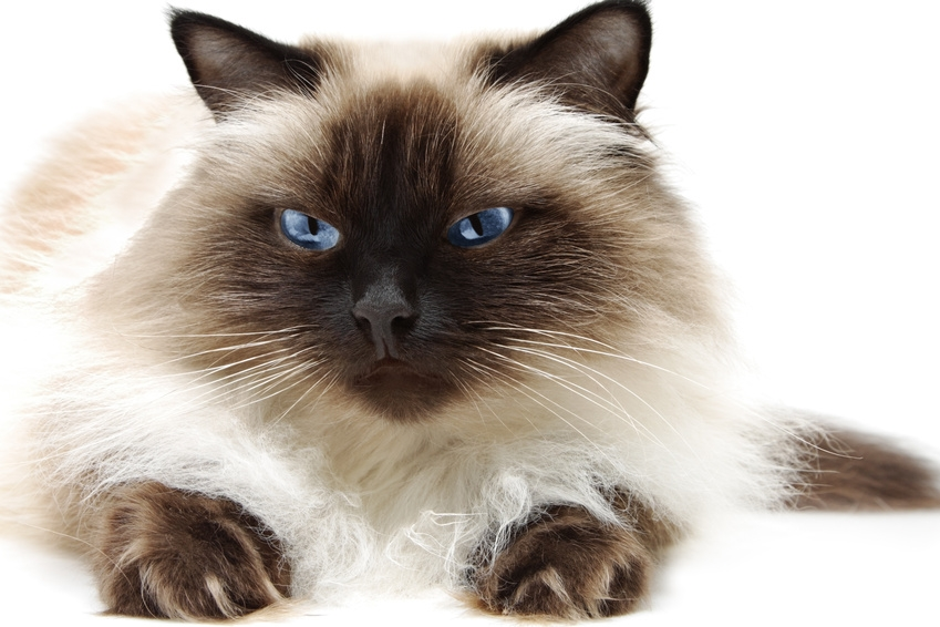 Himalayan spotted cat