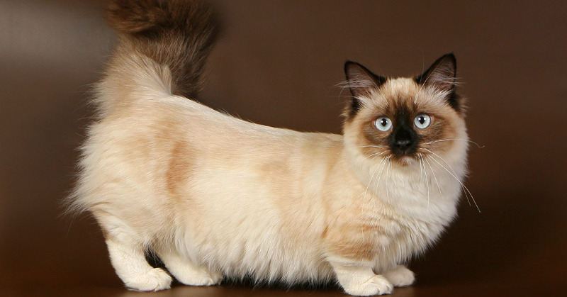 Munchkin cat: short legs as an advantage