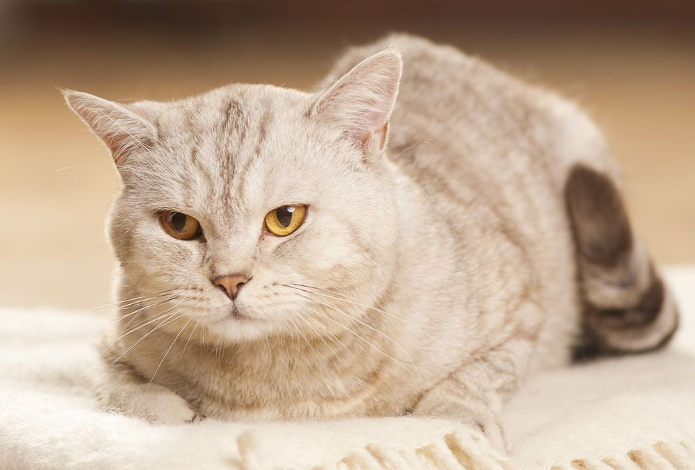 Dandruff in cats: causes and treatment
