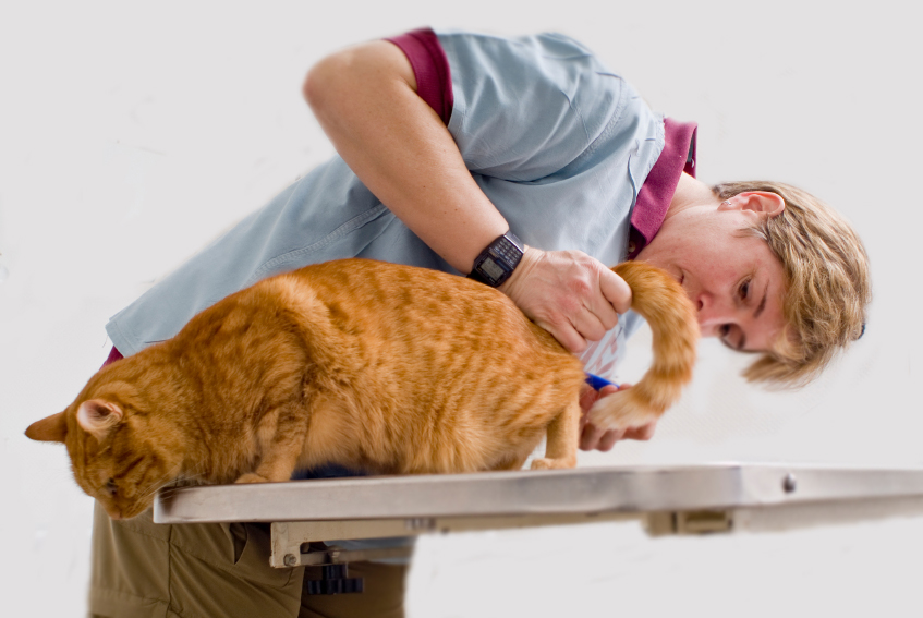 Cystitis in cats: symptoms and treatment
