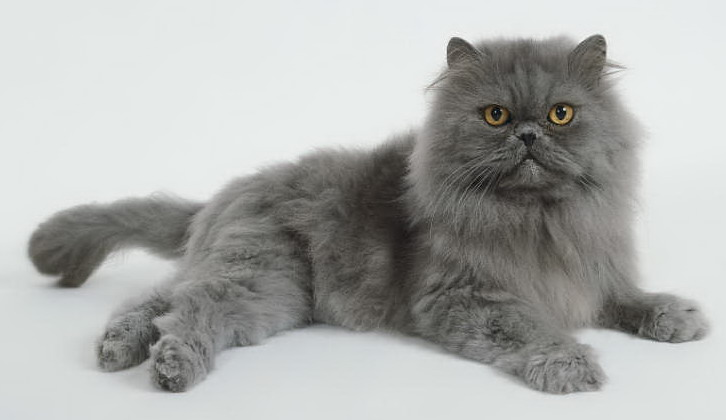 Persian cats – luxurious coat and kingship in manners