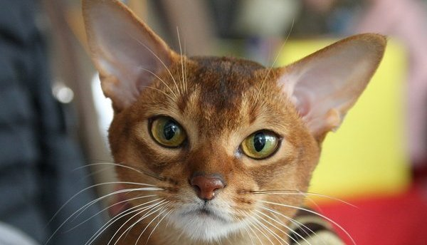 Abyssinian cat: sunlight and star shimmering