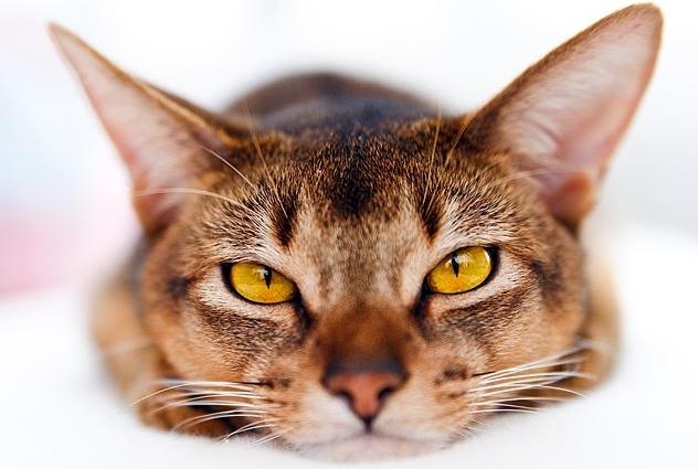 Distemper in cats (feline panleukopenia)