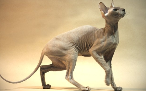 Peterbald Sphynx: pure wonder of Russian feline