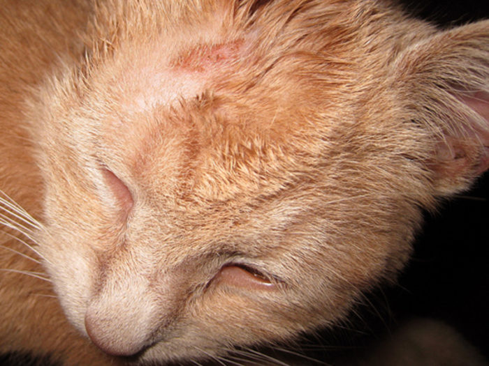 Dermatitis In Cats Types Symptoms And Treatment Pets Wiki