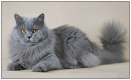British Shorthair Cats Calm And Confident Pets Wiki