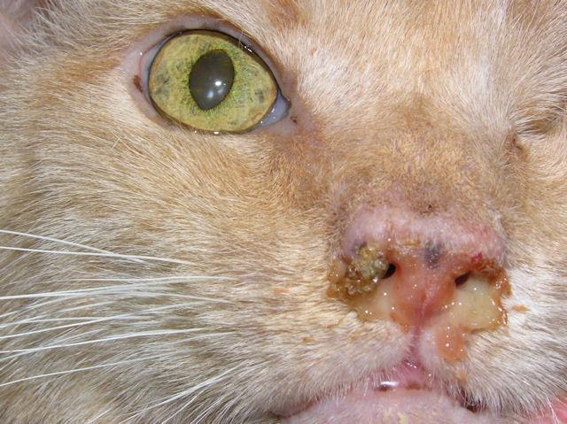 Rhinitis In Cats Pets Wiki