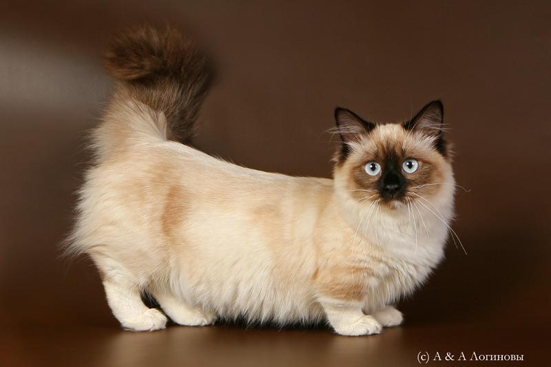 Munchkin Cat Short Legs As An Advantage Pets Wiki