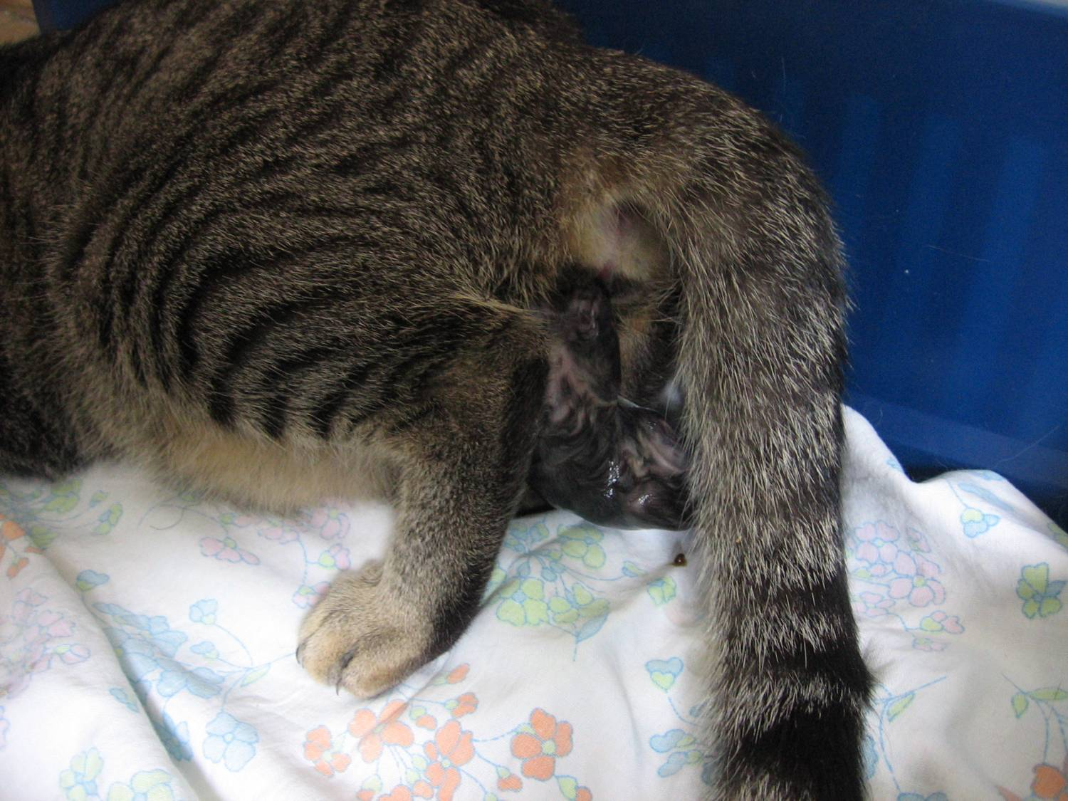 How To Assist A Cat During The Labor Pets Wiki
