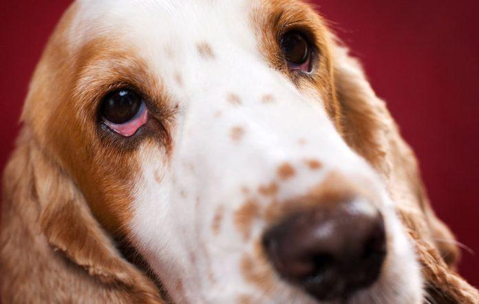 Dog Bloodshot Eyes Diarrhea